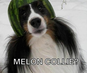 funny, dog, and collie image