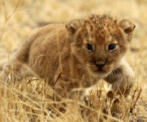 baby lion and cute image