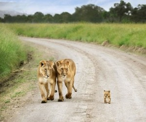 baby, family, and lions image