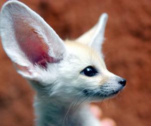 fennec fox and animal image