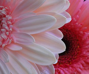 daisy and pink image