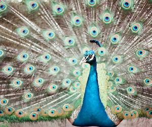 beautiful, peacock, and animal image