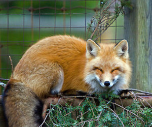 fox, smiles, and cute image