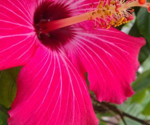 flower, hibiscus, and summer image