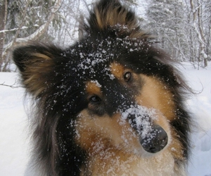 collie, dog, and snow image