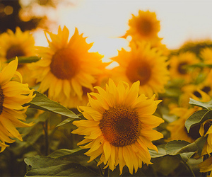 flower, summer, and sunflower image