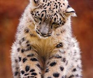 snow leopard, animal, and big cat image