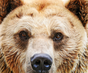 bear, grizzly, and animal image