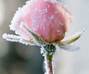 flower, pretty, and frost image