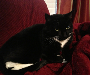 cat kittie couch capers image