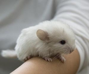 cute, animal, and Chinchilla image