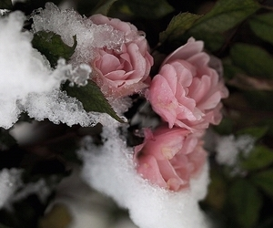 rose, pink, and snow image