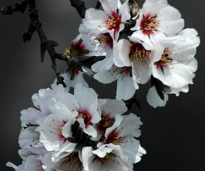 blossom and white image