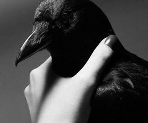 bird, crow, and hand image