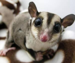 animal, sugar glider, and cute image