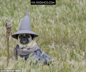 dog, pug, and gandalf image