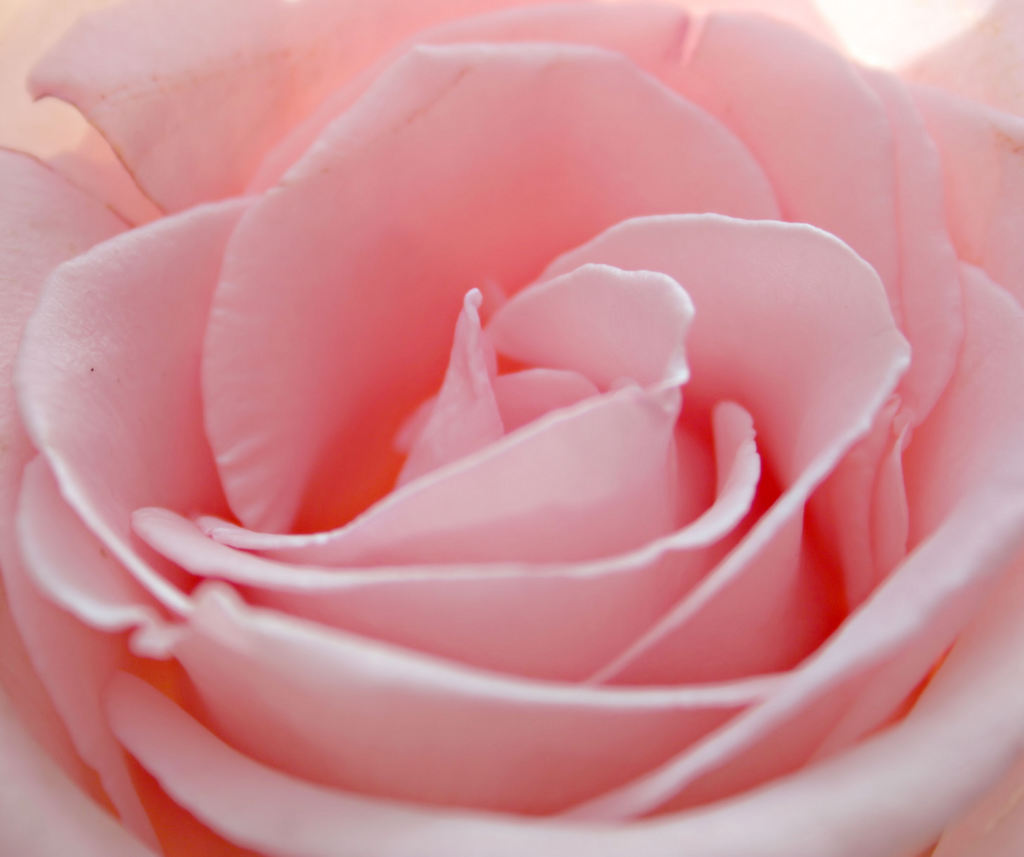 Flower Baby Cute Rose Wallpaper And Picture Imagesize 80