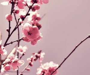 cherry blossom, flowers, and pretty image