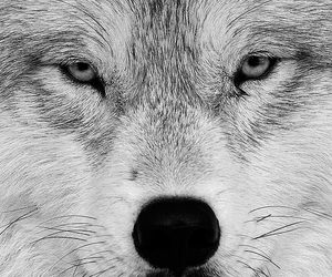 beautiful eyes, wolf, and eyes mirrors to your soul image