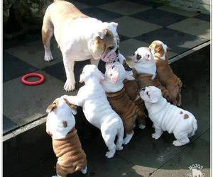 dog, puppy, and bulldog image