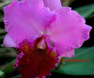 botany, cattleya, and flower photography image