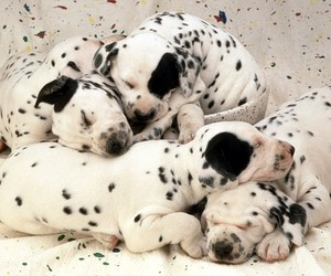 dog, puppy, and dalmatian image