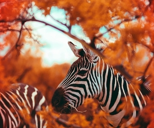 zebra and animal image
