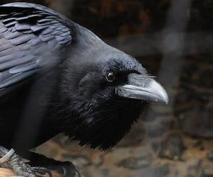animal, bird, and crow image