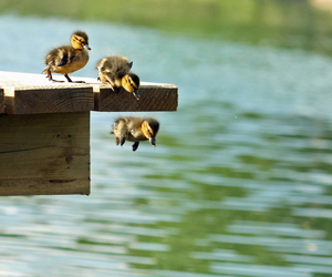 ducks and small pier jumping image