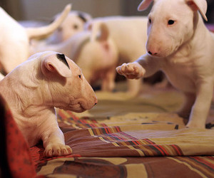 dog and bull terrier image