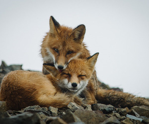 adorable, fox, and rocks image