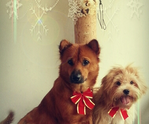 dogs, teddy, and merry christmas image