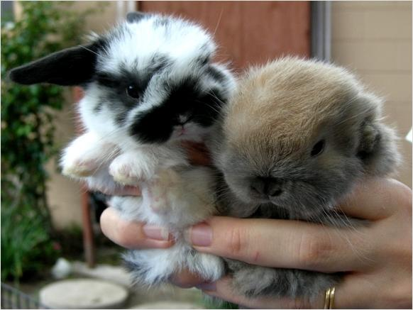 Holland Lop Dwarf Babies For Sale 50 Tampa Florida