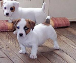 puppies, jack russell, and cute image