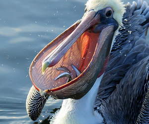 bird, pelican, and sushi image
