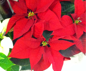 christmas, first, and flowers image