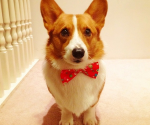 adorable, bow, and corgi image