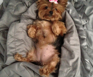 bow, dog, and yorkie image