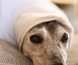 blanket, greyhound, and white image