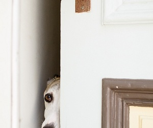 door, shy, and greyhound image