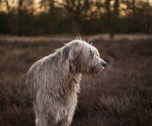 dog, giant, and irish image