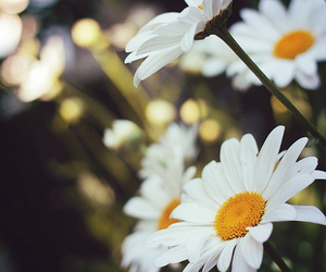colors, daisies, and flowers image