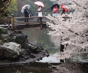 japan, bridge, and sakura image