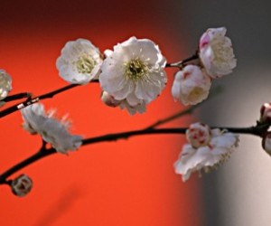 asia, asian, and cherry blossom image