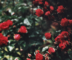 roses, flowers, and header image
