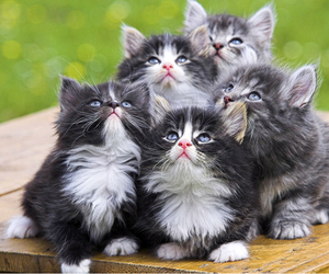 adorable, black, and kittens image