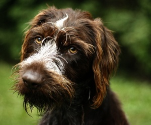 brown, german, and pointer image