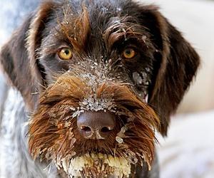brown, dog, and german image