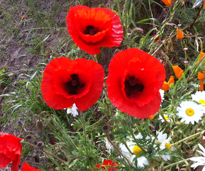 rouge and fleur coquelicot image
