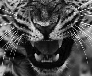 tiger, black and white, and animal image